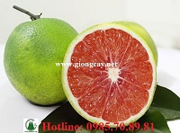 Giống cây cam Cara ruột đỏ không hạt và kỹ thuật trồng
