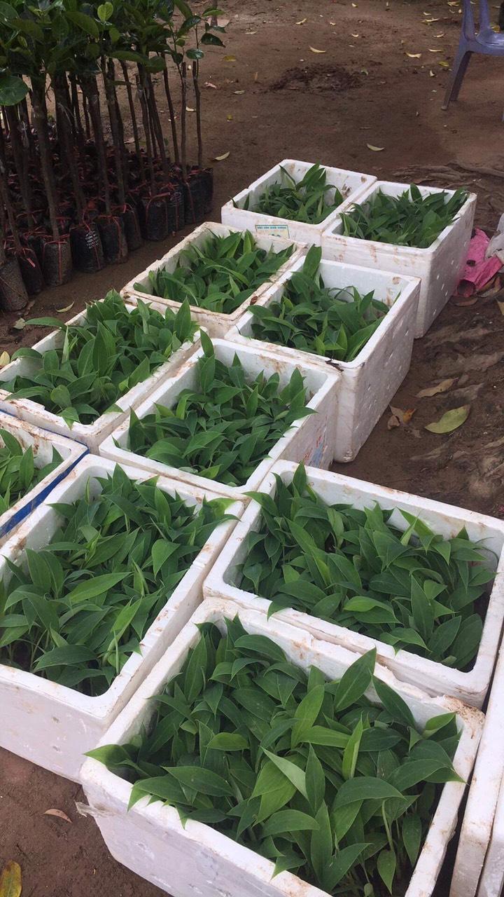 Kỹ thuật trồng và chăm sóc cây chuối tiêu