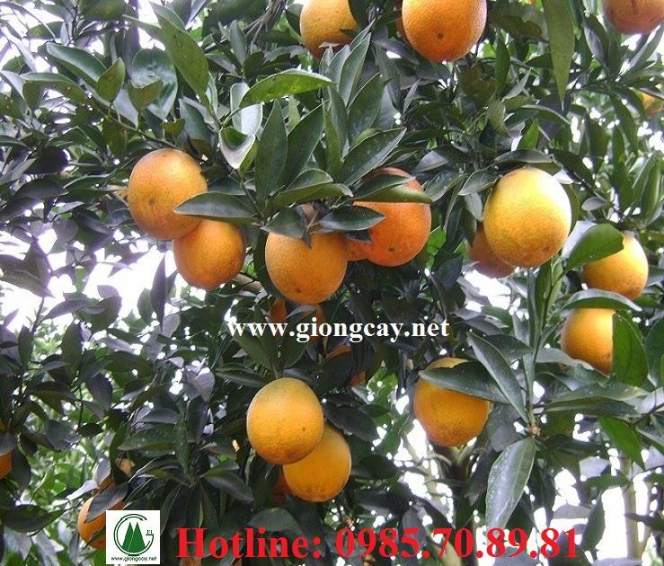 Giống cam V2 và quy trình trồng cam V2 đạt năng suất cao