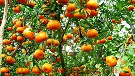 Quy trình chăm sóc cây quýt ngọt