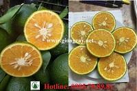 Giống cam sành, kỹ thuật trồng cây cam sành cho năng suất cao.