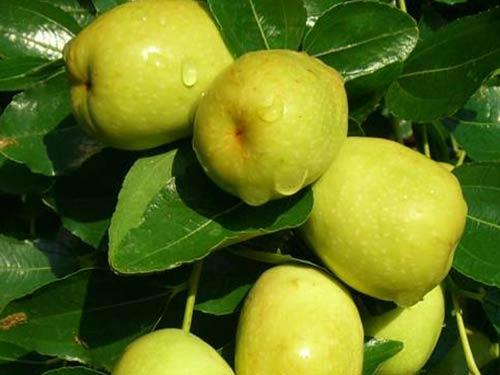 Quy trình chăm sóc táo đào vàng